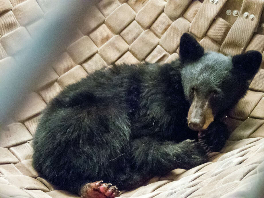 A bear cub whose paws were badly burned in the Carr Fire was treated by the California Department of Fish and Wildlife. The bear was the subject of an experimental treatment that involved a fish skin graft. Photo: Travis VanZant, California Department Of Fish And Wildlife / California Department of Fish and Wildlife