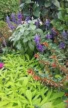 Vermillionaire cuphea makes a dynamic combination with lime green ornamental sweet potatoes and Mysty blue salvia.
