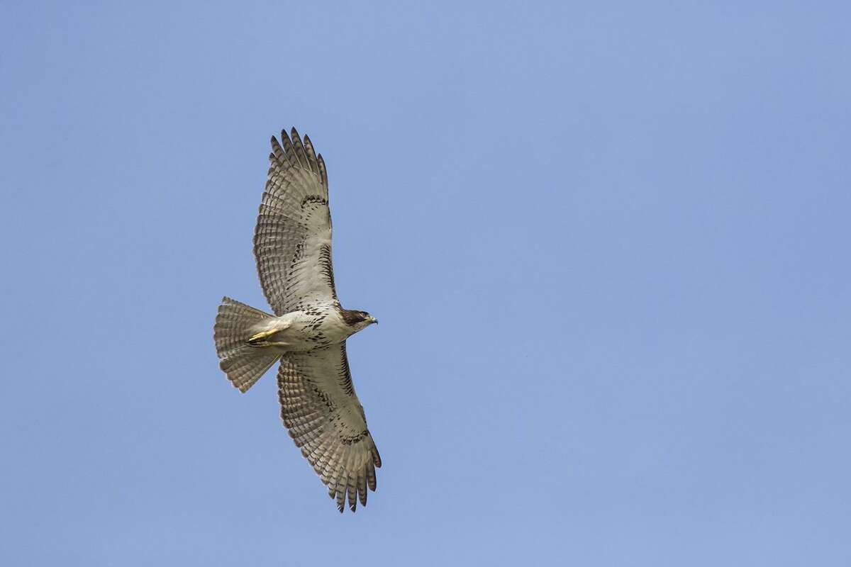 Red-tailed hawks are master predators. Photo Credit: Kathy Adams Clark. Restricted use.