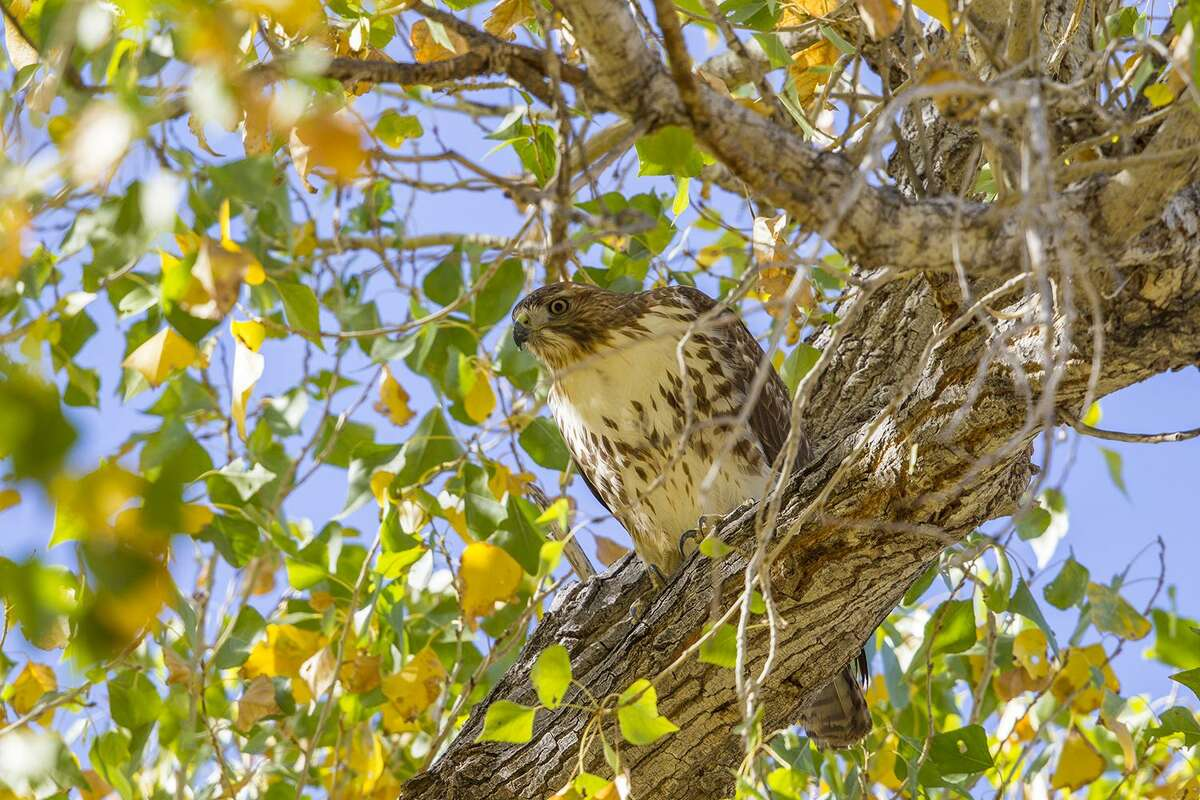 Red-tailed hawks are master predators. They will often hunt for their prey from a perch in a tree. Photo Credit: Kathy Adams Clark. Restricted use.