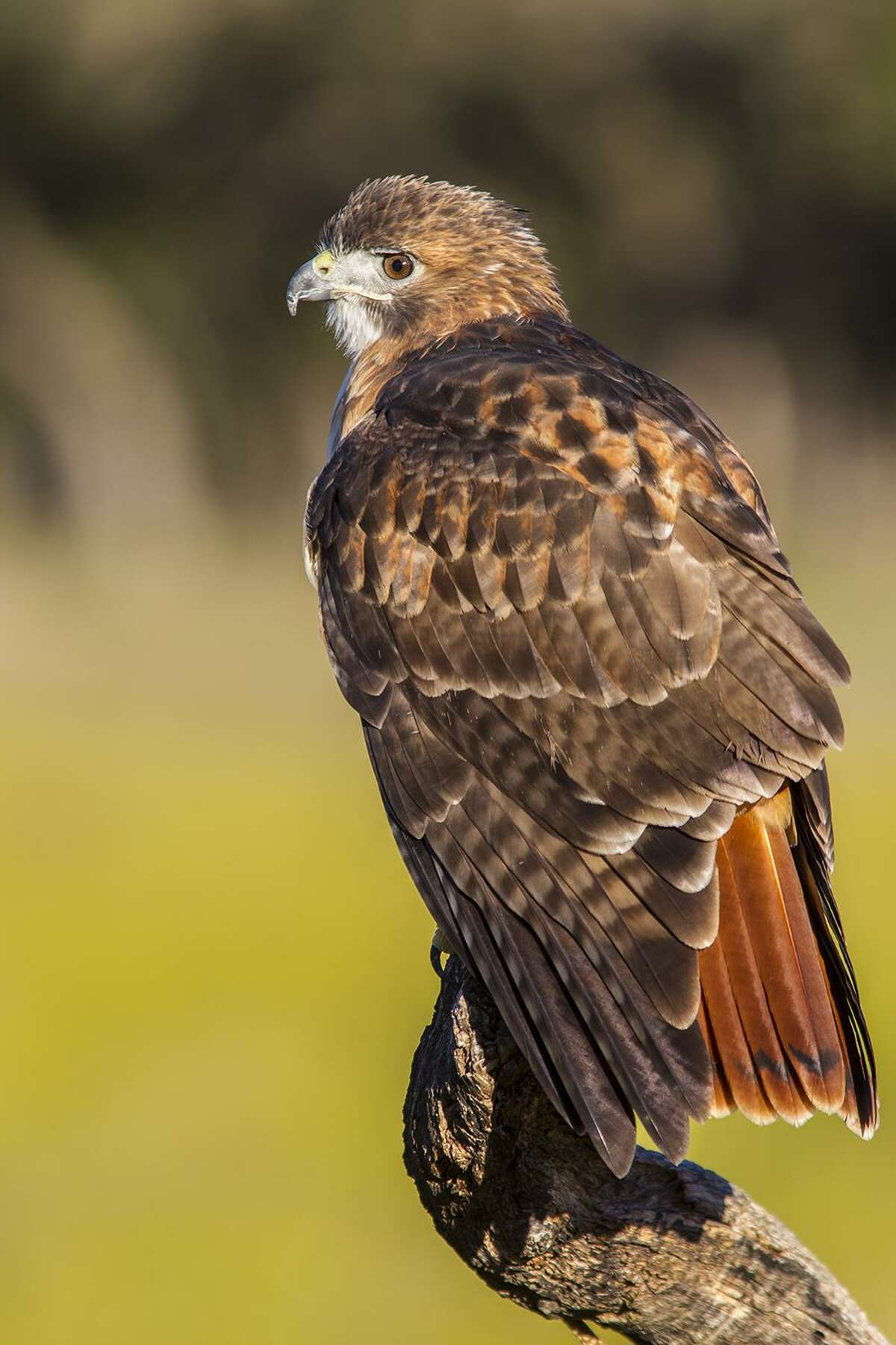 Red-tailed hawks are master predators. They often will pin their prey to the ground in tall grass. Photo Credit: Kathy Adams Clark. Restricted use.
