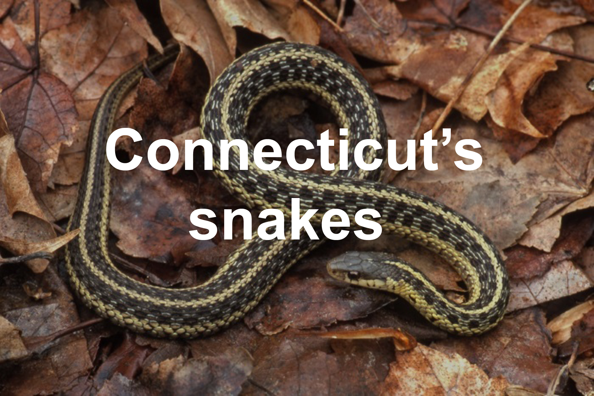 Colleges In Ct >> Connecticut's snakes - Connecticut Post