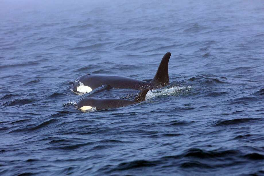 In this Tuesday, Aug. 7, 2018, Southern Resident killer whale J50 and her mother, J16, swim off the west coast of Vancouver Island near Port Renfrew, B.C. J50 is the sick whale that a team of experts are hoping to save by giving her antibiotics or feeding her live salmon at sea. The experts now have authorization to intervene with medical treatment in both U.S. and Canadian waters once the critically endangered orca shows up again in the inland waters of the Pacific Northwest. (Brian Gisborne/Fisheries and Oceans Canada via AP) Photo: Brian Gisborne, Associated Press