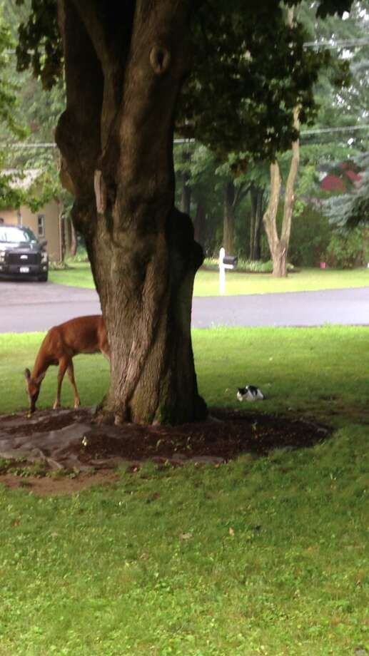 Al and Nicolette Asher of Voorheesville chronicled how close their cat Stewart got to this deer.