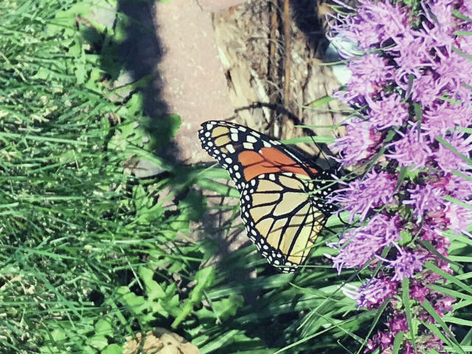 A monarch butterfly rests on native plants in New Berlin.