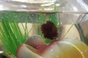 Grant the fish was saved from starvation by some do-gooder firefighters and police officers.