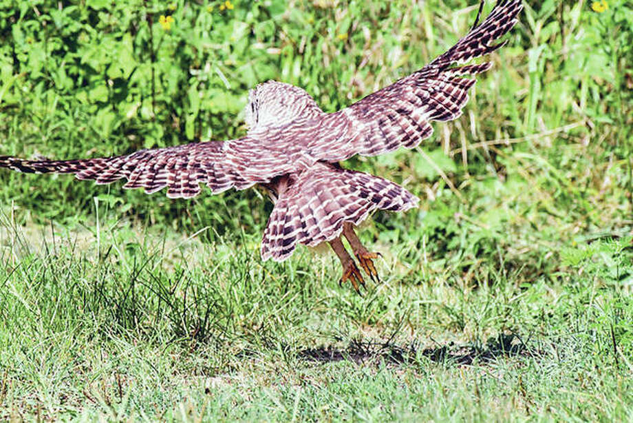 An owl swoops down on prey near Waverly.