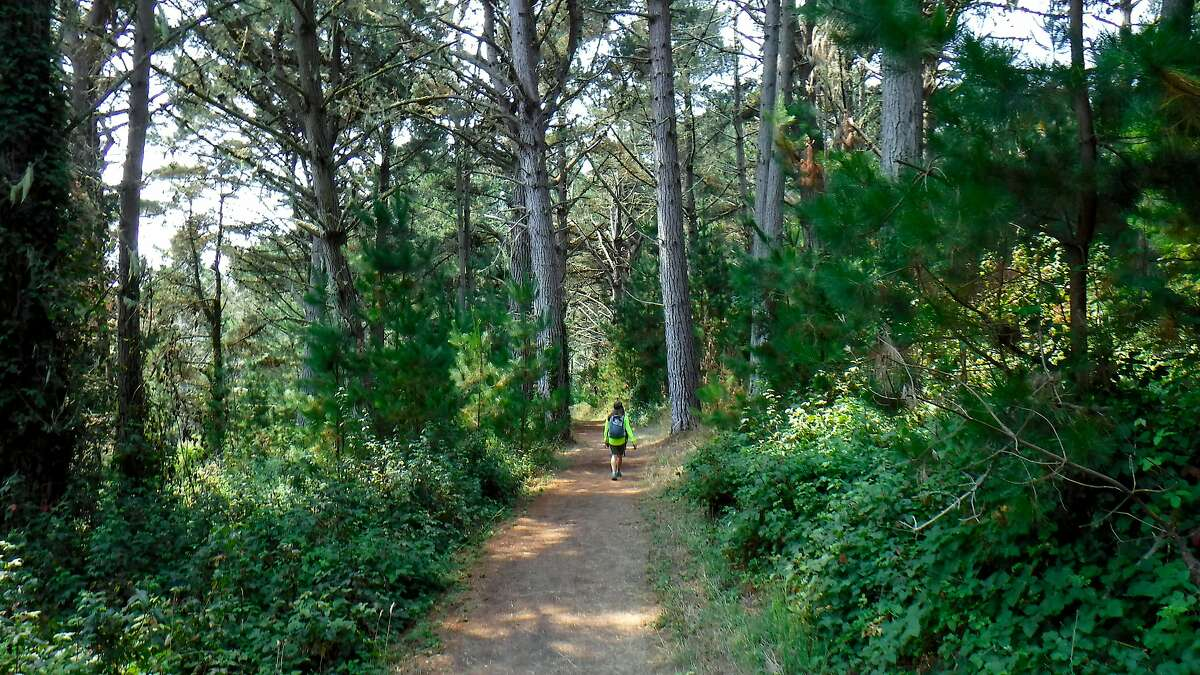 Denese Stienstra hikes on the Estero Trail, flanked by towering Monterey pine, cypress and adjacent wild berry vines, at Point Reyes National Seashore