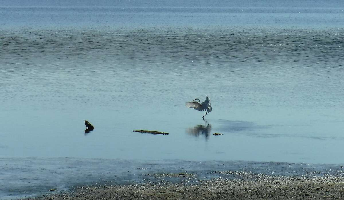 A giant egret lands along the shore of Tomales Bay at Inverness adjacent to Point Reyes National Seashore