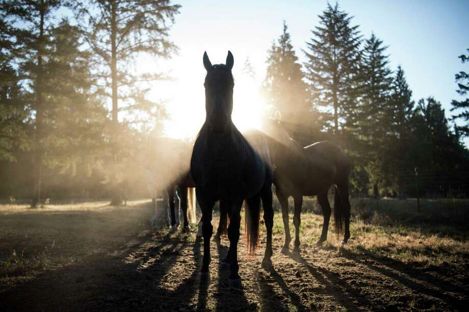 Justice, front, shares a pasture in Estacada, Ore., with three other rescued horses: Lincoln, Badger and Flick. Photo: Washington Post Photo By Carolyn Van Houten / The Washington Post
