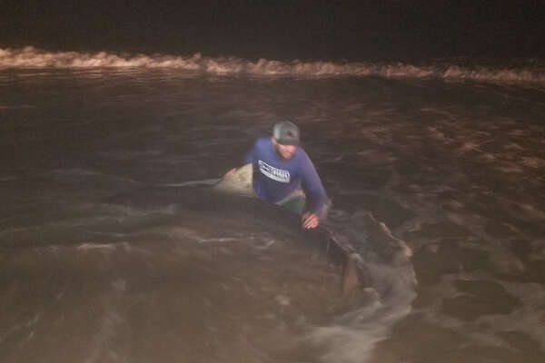 Early Saturday morning, Matthew Zuniga caught a 12-foot tiger shark off of South Padre Island Beach, he said.