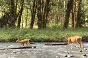 A doe and fawn make their way up the Hoh River in Olympic National Park in Washington.
