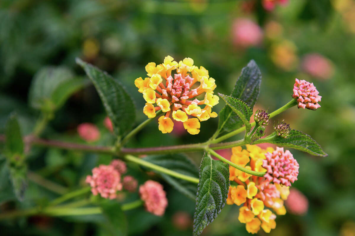 Lantana How it got here: This South American plant first became popular in Europe in the 1700s and eventually made its way to the United States. It is still sold in nurseries today. Why it's bad: It forms dense thickets, can ruin citrus groves and can cause liver failure and death in livestock or wild animals. Children have also been poisoned eating the fruit of the plant. What you can do: Don't purchase or plant lantana. Plant native plants instead.