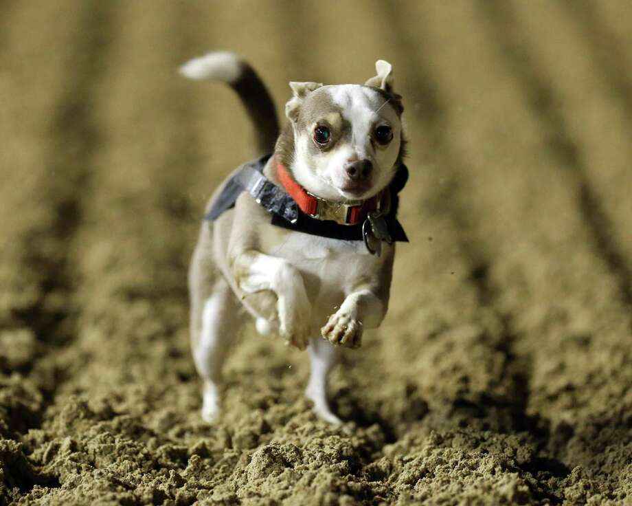 Texas Chihuahua Rescue leads the annual charge of the small dogs at the big horse track, as chihuahuas race for glory and prizes from Pet Supplies Plus franchisee Surefed Plus and Pawderosa Ranch. Note: Only dogs that are racing are allowed in the park for the event. 5-11 p.m. Saturday, Retama Park, 1 Retama Parkway, Selma. $7 general admission, $4 military and seniors ages 62+, free ages 12 and younger. 210-651-7000, retamapark.com.  Photo: Courtesy Retama Park