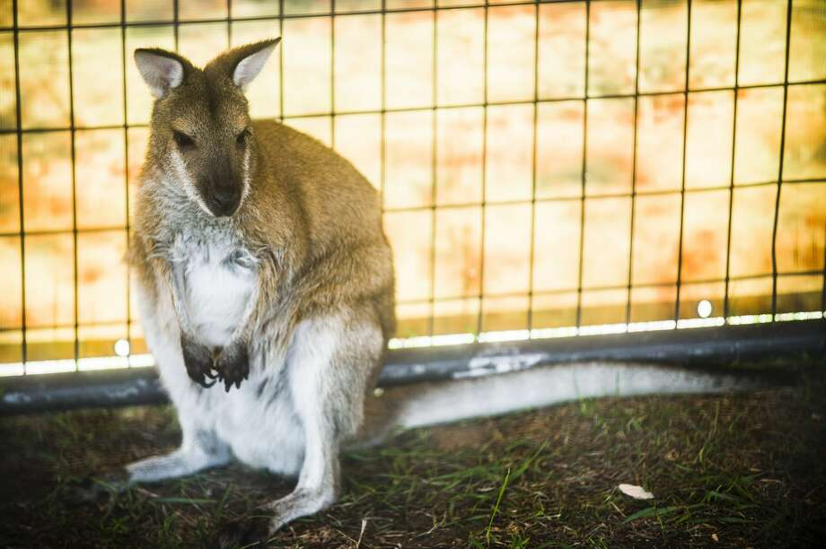 An agile wallaby sits inside its enclosure during the Aussie Kingdom show on Tuesday, Aug. 14, 2018 at the Midland County Fairgrounds. (Katy Kildee/kkildee@mdn.net) Photo: (Katy Kildee/kkildee@mdn.net)