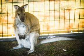 An agile wallaby sits inside its enclosure during the Aussie Kingdom show on Tuesday, Aug. 14, 2018 at the Midland County Fairgrounds. (Katy Kildee/kkildee@mdn.net)