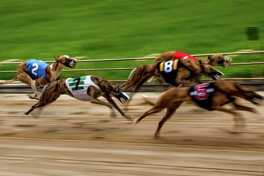 During a race, greyhounds chase a mechanical lure makes a squeaky noise as it circles the track. Photo: Photo For The Washington Post By Scott McIntyre / Scott McIntyre, For The Washington Post