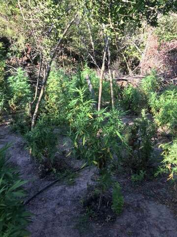 Texas cops bust marijuana field with 1,800 plants - HoustonChronicle com