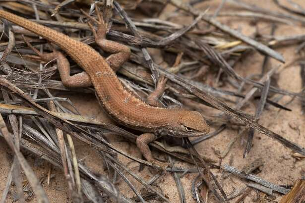ADVANCE FOR WEEKEND EDITIONS, JULY 14-15 - This May 1, 2015 photo shows a dunes sagebrush lizard. The little lizard is the center of controversy again, with a Chaves County, N.M., administrator vowing to work if need be to keep lands in the county available for business use. The dune sagebrush lizard is again a matter of concern after two national conservation groups petitioned the U.S. Fish and Wildlife Service on May 8 to reclassify the lizard as either endangered or threatened and to protect its habitat in southeast New Mexico and West Texas. (U.S. Fish and Wildlife Service via AP)