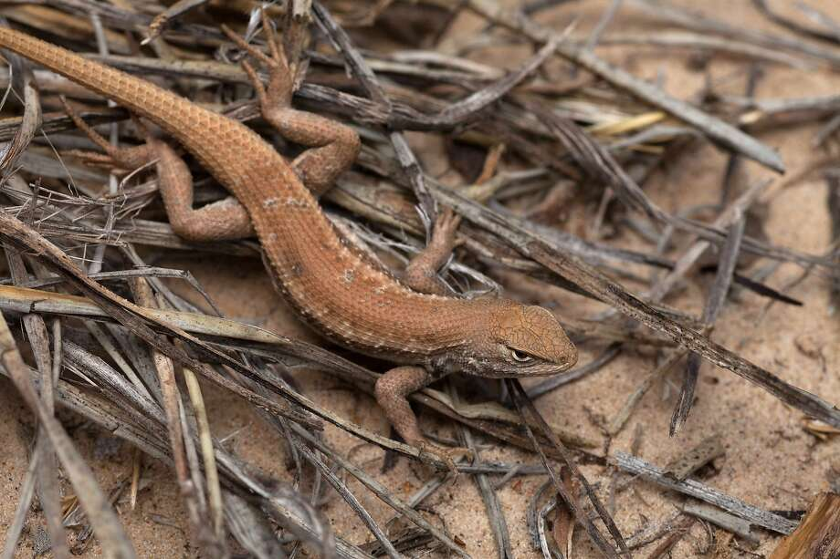 Conservation groups Defenders of Wildlife and Center for Biological Diversity on Friday filed a notice of their intent to sue the Trump administration for failing to protect the dunes sagebrush lizard under the Endangered Species Act. Photo: Associated Press