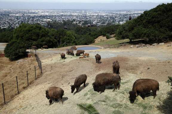 A bison herd graze below an observation deck at the Oakland Zoo during the grand opening of the California Trail exhibit on Thursday, July 12, 2018. The 56-acre exhibit featuring eight animal species native to California.