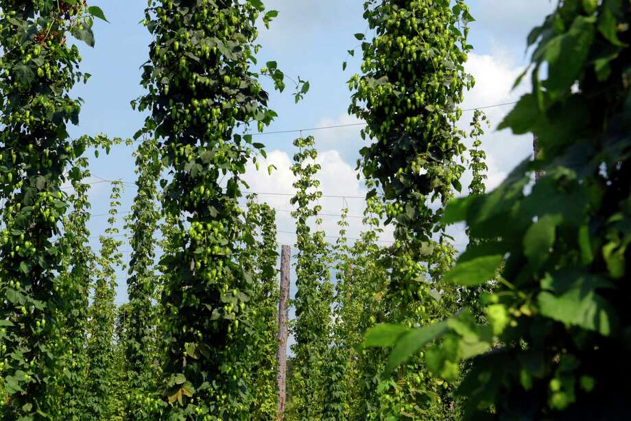 A view of some of the hops growing at Indian Ladder Farms on Wednesday, Aug. 16, 2017, in Altamont, N.Y.    (Paul Buckowski / Times Union) Photo: PAUL BUCKOWSKI / 20041279A