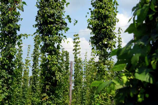 A view of some of the hops growing at Indian Ladder Farms on Wednesday, Aug. 16, 2017, in Altamont, N.Y. (Paul Buckowski / Times Union)