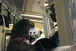 A Great Dane stood on his back legs and rode BART like a person on Wednesday.