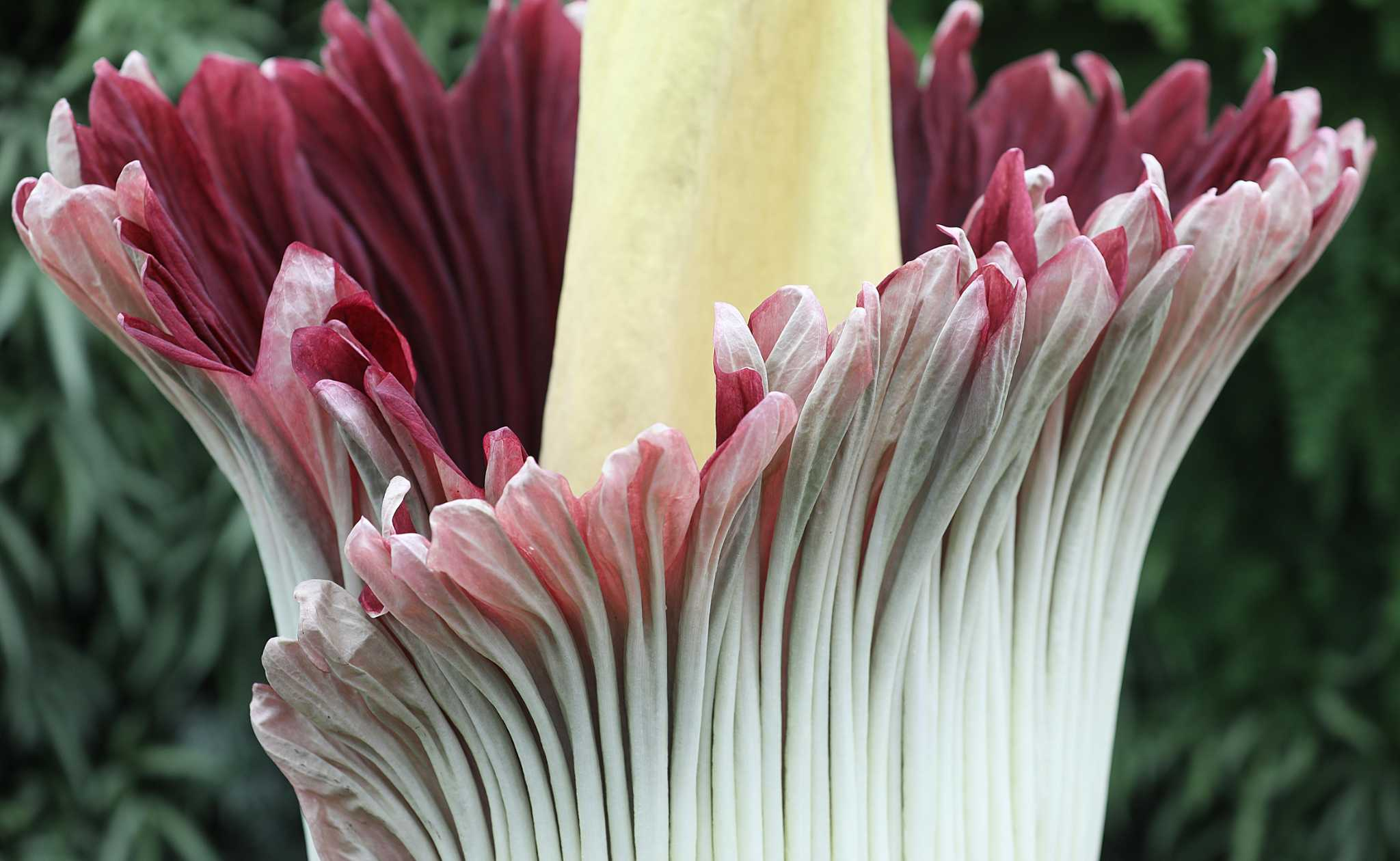 Amazons Corpse Flower Is Blooming Just In Time For Halloween