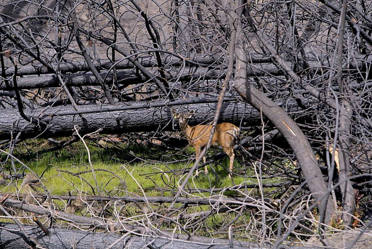 In fire zone of Rim Fire, deer finds a sliver of food amid downed trees and burned landscape