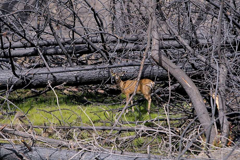 In fire zone of the Rim Fire near Yosemite, a deer finds a sliver of food amid burned landscape. Photo: Tom Stienstra, Tom Stienstra / The Chronicle