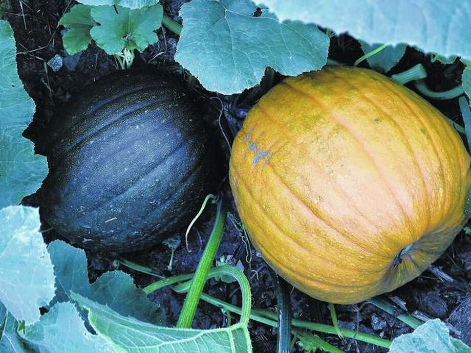 Pumpkins ripening on the vine give a reminder fall is just around the corner.