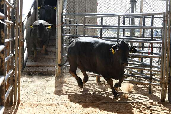 Cattle scatters into the pins at the Independent Cattleman of Southeast Texas auction on Thursday, March 09, 2018. Forty-five percent of Texas is in a drought stage categorized as severe, extreme or exceptional, according to the U.S. Drought Monitor, and ranchers and others describe land bare of grass, bales of hay either too expensive or hard to come by, and stock tanks that have long run dry.