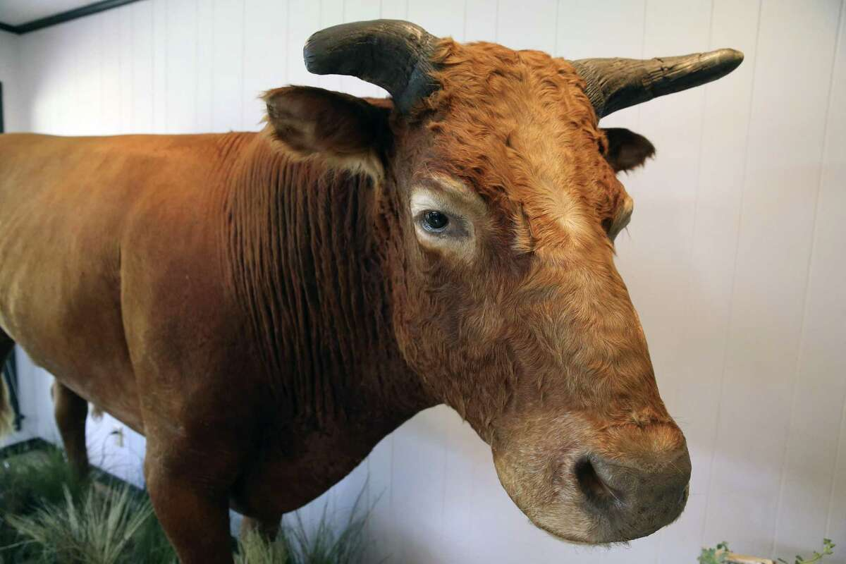 The taxidermy remains of Big Al greets visitors to the HeartBrand Ranch in Hartwood. Big Al was the first full-blooded Akaushi bull born on U.S. soil and lived from 1995 until 2010.