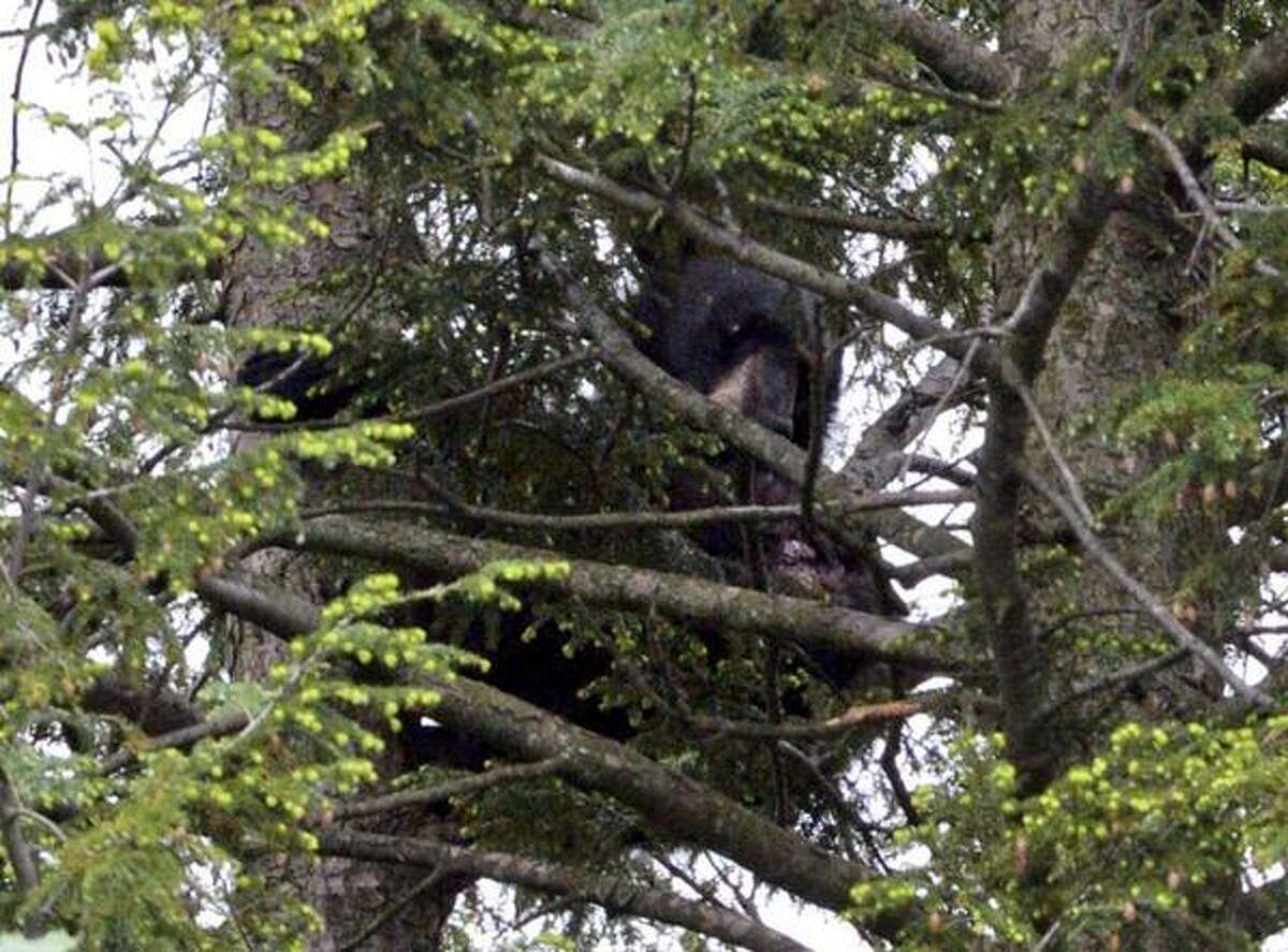 A black bear up a tree behind is beginning to stir Wednesday morning as Albany police keep watch Wednesday morning on the perimeter that police and conservation officers set up afterthe bear was shot and climbed a pine near Myers Middle School. (Skip Dickstein / Times Union)