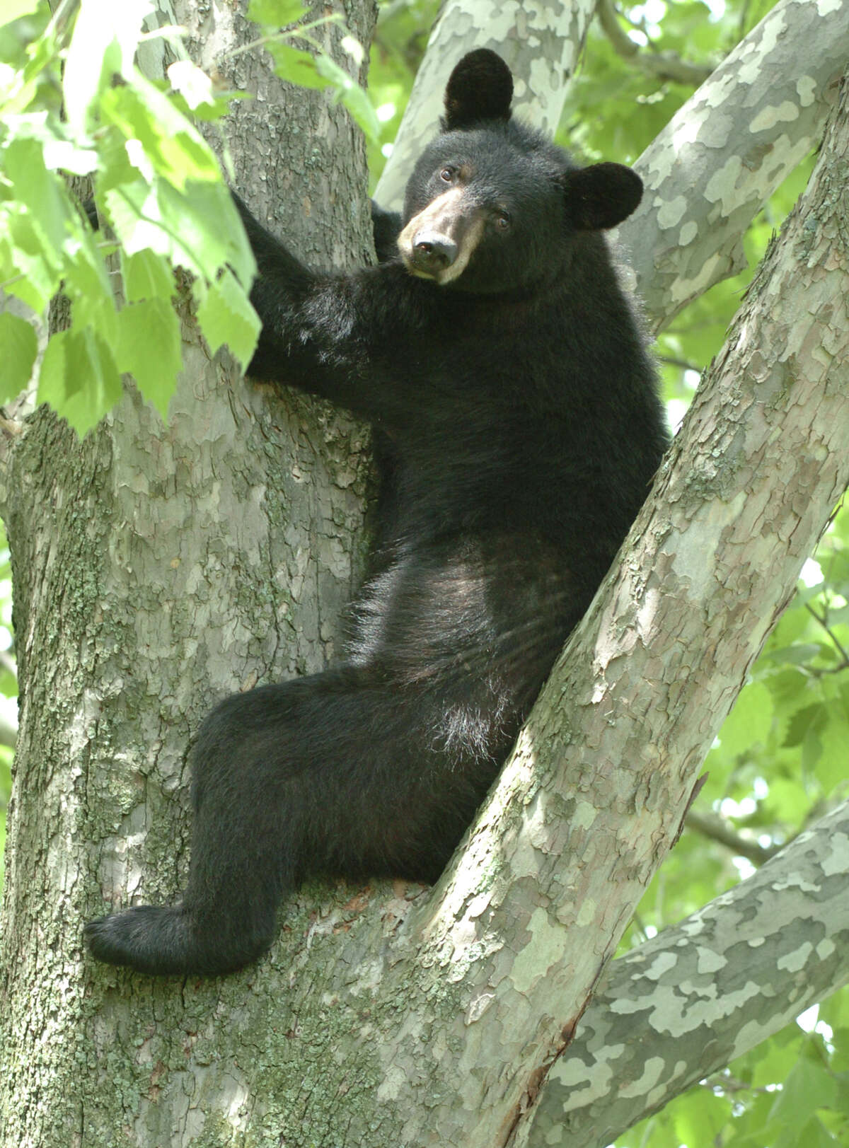 Times Union Staff Photo by Skip Dickstein A young black bear sits in a tree in the rear of 33 John David Lane in Albany, New York May 27, 2004. He climbed the tree to avoid the humans that awaited him on the ground below the tree. ENCON officers were called to tranquilize the bear and remove him from the tree.