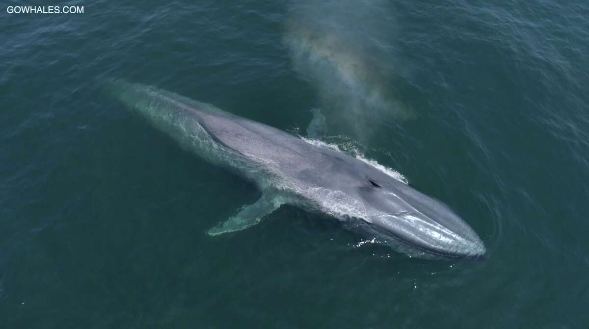 Eight blue whales were seen within a mile of each other in Monterey Bay on Aug. 15, 2018.