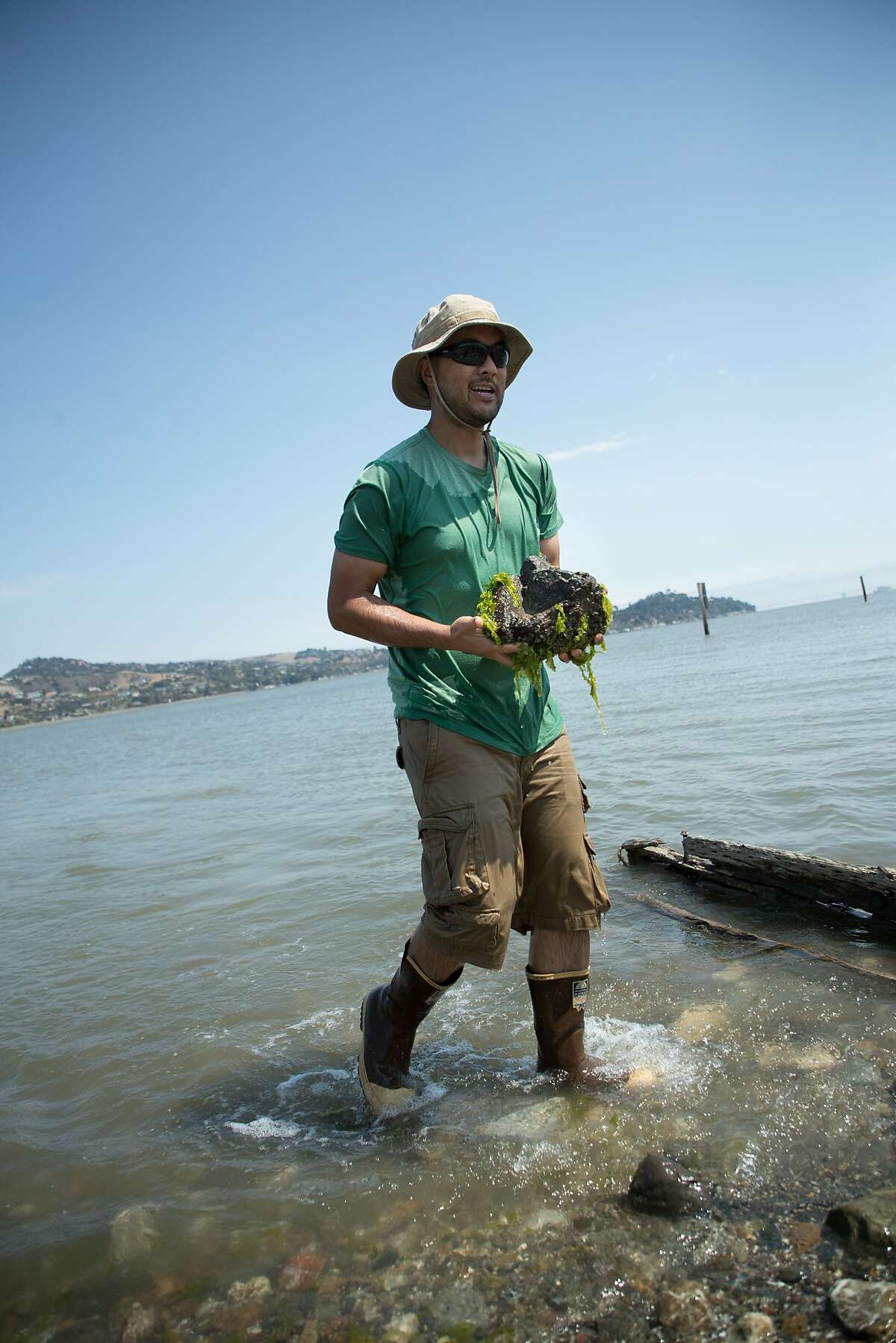 Brian Cheng, Assistant Professor at the University of Massachusetts Amherst, finds a rock with predatory Atlantic oyster drills off Aramburu Island, Tuesday, Aug. 14, 2018, in Tiburon, CA.