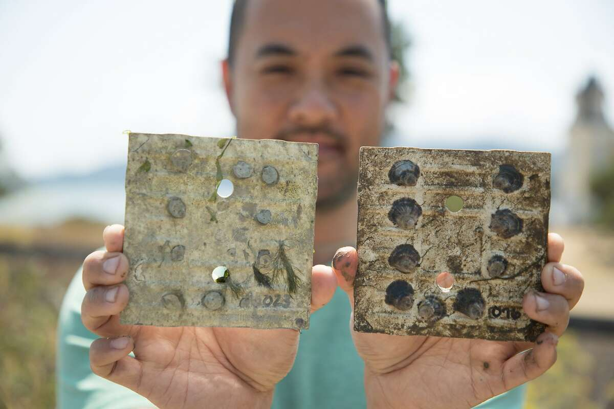 Brian Cheng, Assistant Professor at the University of Massachusetts Amherst, holds two growth plates of native Olympia oysters on Aramburu Island, Tuesday, Aug. 14, 2018, in Tiburon, CA. Atlantic oyster drills killed the oysters on the left.