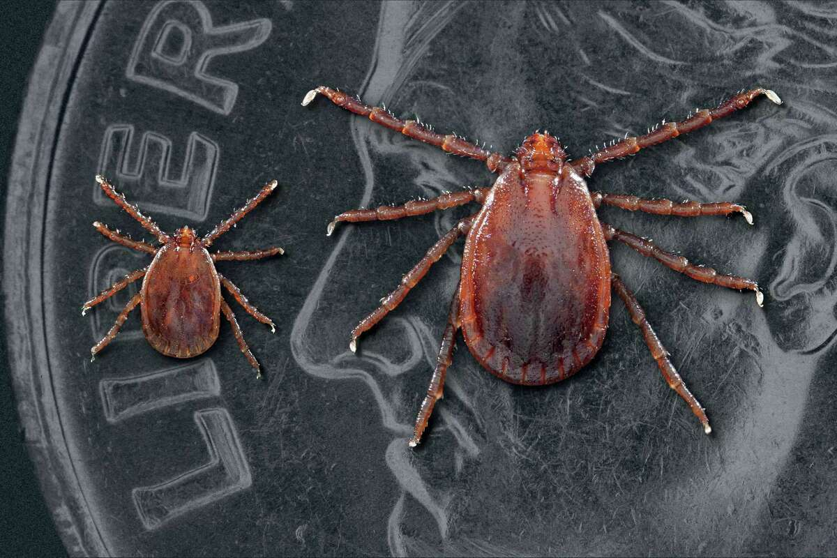 Two Haemaphysalis longicornis ticks, commonly known as the longhorned tick. The smaller of the two ticks is a nymph. The larger tick is an adult female. Males are rare. This tick can reproduce asexually. Note that the ticks had been placed atop a United States dime, in order to provide you with some sense of scale, as to the size of these small creatures. Photo credit: James Gathany/Centers for Disease Control and Prevention (CDC).