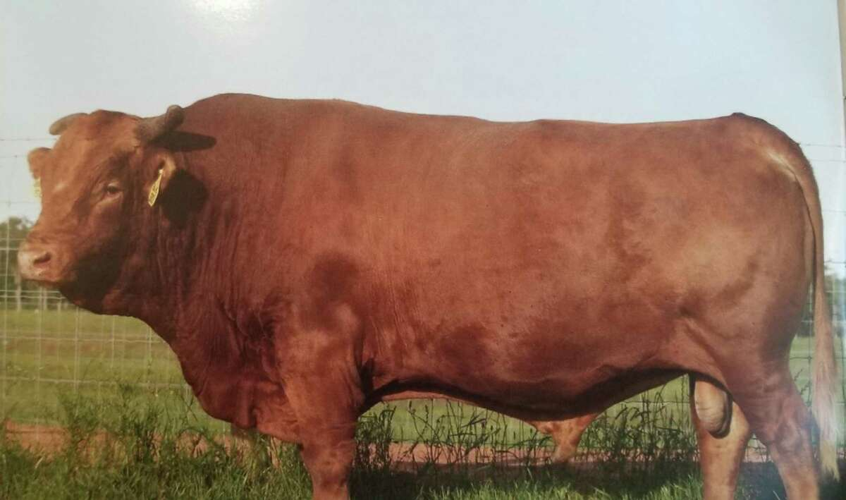 Big Al was the first pure-blooded Akaushi bull born outside of the Japanese mainland. He was born in 1995 in Wisconsin and died in 2010. In 2018, a major chunk of all the Akaushi cattle outside of Japan can be traced to his lineage.