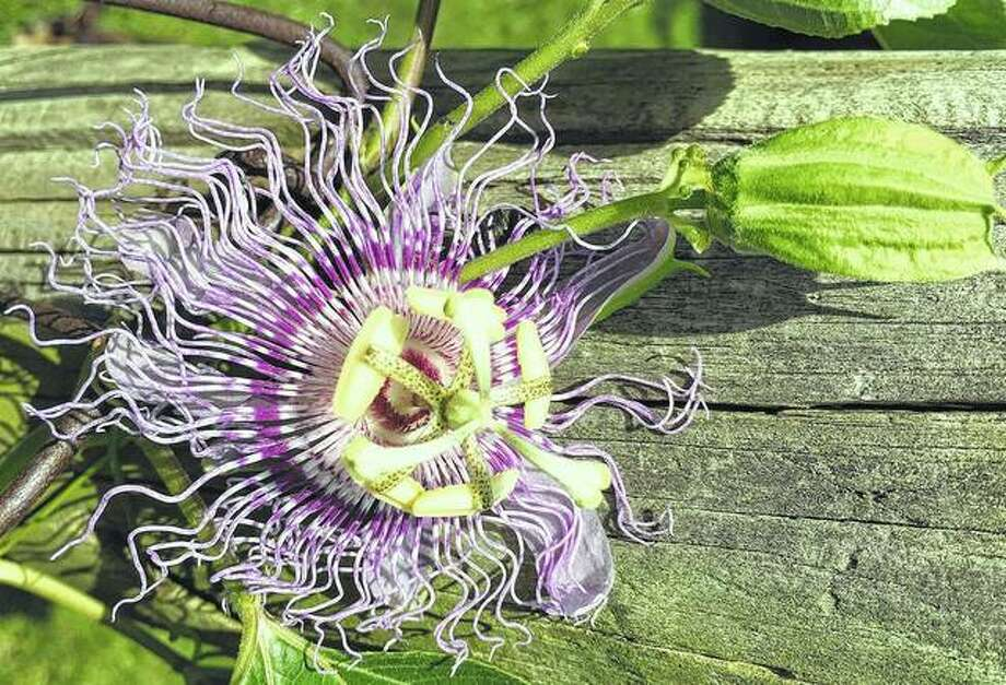 A passion flower blooms on a fence in a garden.