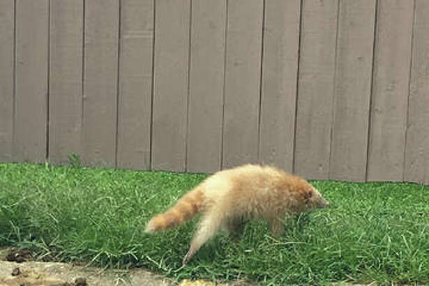 Jordynn H., who lives in Williams Estates Apartments in Edwardsville spotted and photographed this unusual albino raccoon. Jordynn nicknamed the animal Jewell after the albino model Jewell Jeffrey.
