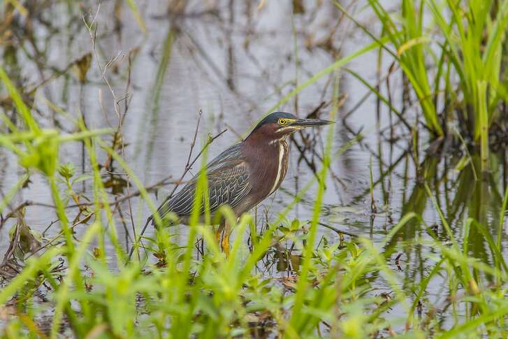 Green herons are the size of crows and are relatively common in city and suburban bayous, streams, and ponds lined with dense vegetation.  Photo Credit:  Kathy Adams Clark.  Restricted use.