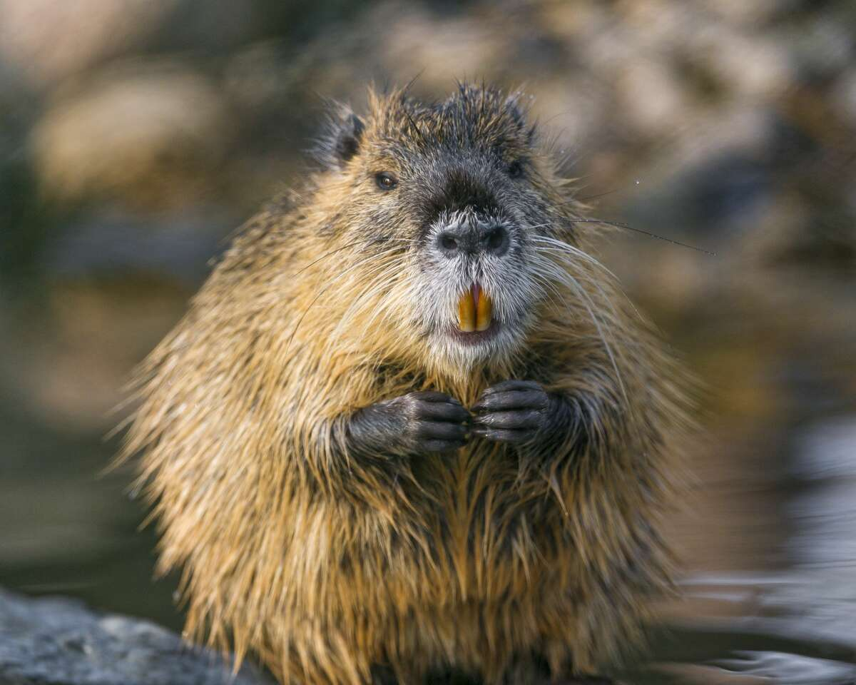WINNER: NUTRIA The destructive, gigantic and not at all cuddly swamp rodents appear to be unstoppable. Now they are in Stockton, but soon could be in an irrigation ditch near you.