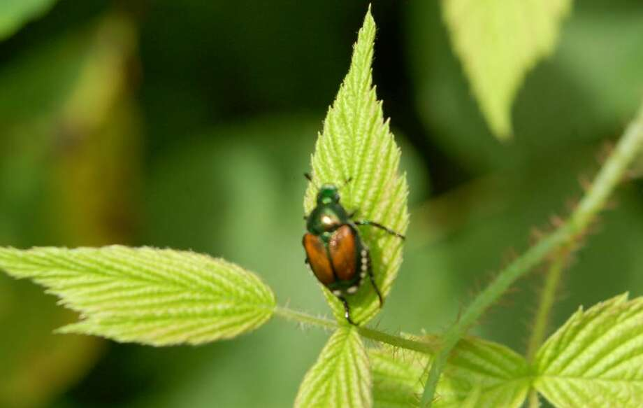 Beneficial nematodes are a natural way to nip Japanese beetles in the bud before they become full-grown garden pests. (Sandra Leavitt Lerner / Washington Post) Photo: LEAVITT LERNER / THE WASHINGTON POST