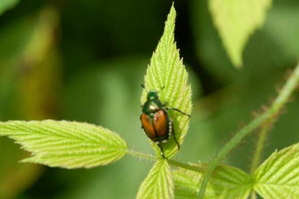 Beneficial nematodes are a natural way to nip Japanese beetles in the bud before they become full-grown garden pests. (Sandra Leavitt Lerner / Washington Post)