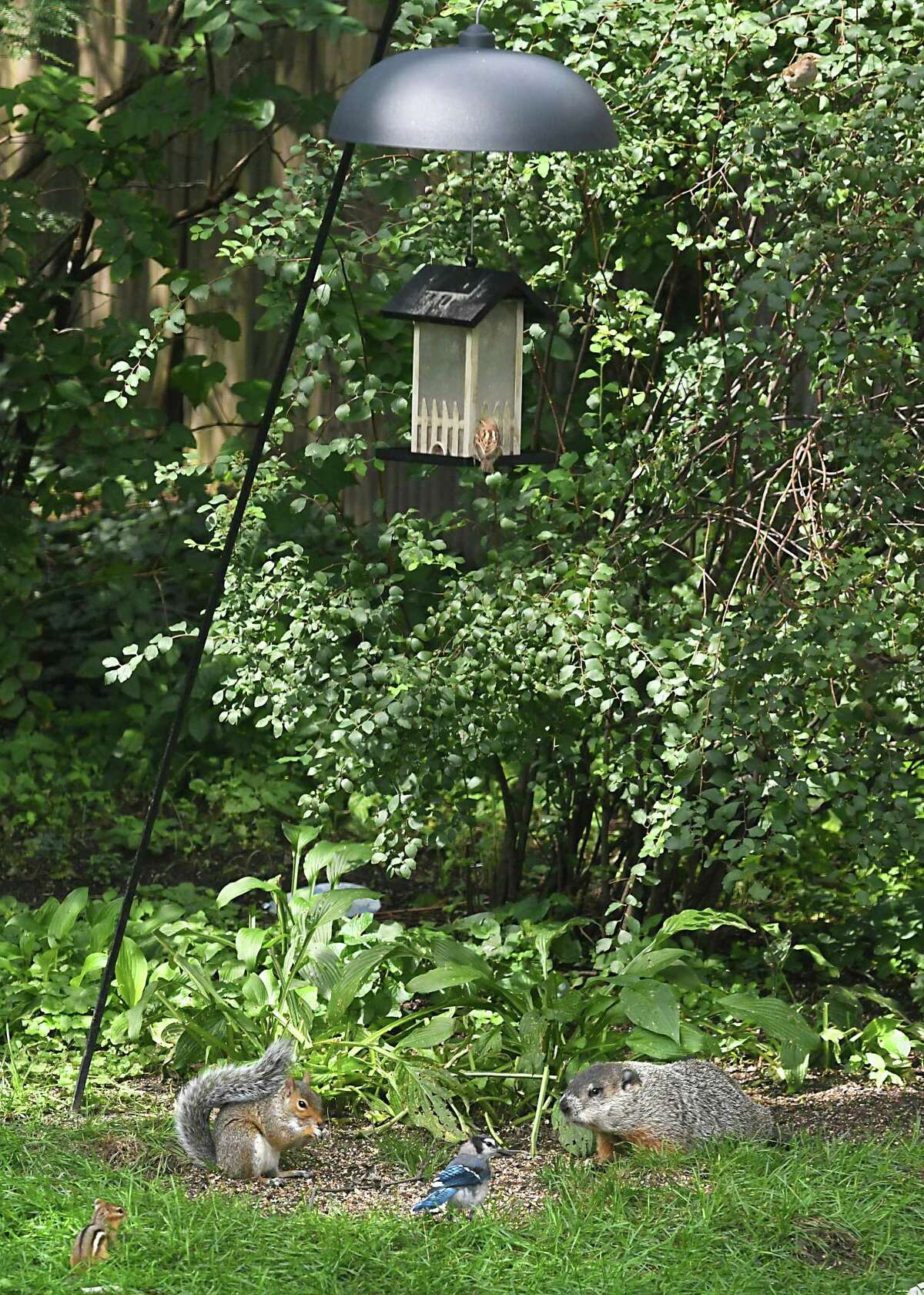 Bird feeders attract more than birds as seen with this feeder that is feeding a chipmunk, squirrel, ground hog and can attract bears on Friday, Aug. 17, 2018 in Guilderland, N.Y. DEC has announced it will start writing $250 tickets to people who have already been warned to take in feeders during summer months. (Lori Van Buren/Times Union)