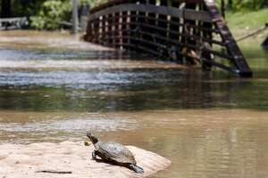 HOUSTON, TX - MAY 27:  A turtle suns itself in front of submerged pedestrian bridge at Buffalo Bayou park after massive flooding May 27, 2015 in Houston, Texas. At least 19 people have been killed across Texas and Oklahoma after severe weather, including catastrophic flooding and tornadoes, struck over the past several days, with more rain expected. (Photo by Eric Kayne/Getty Images)