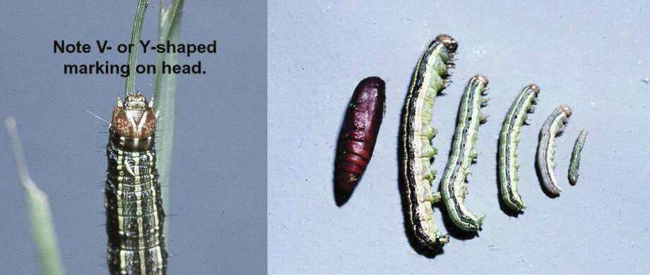 Different armyworm stages and prominent Y marking on head. See the most destructive pests in the United States -->